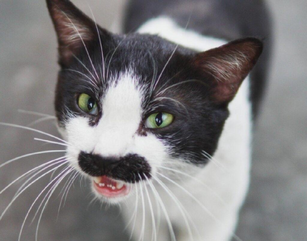 gatto baffo nero opaco