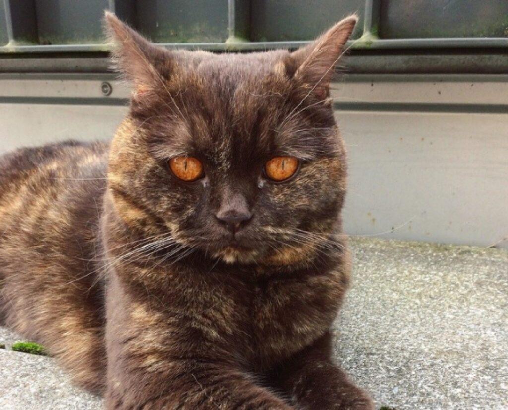 gatto occhi vulcanici rossi