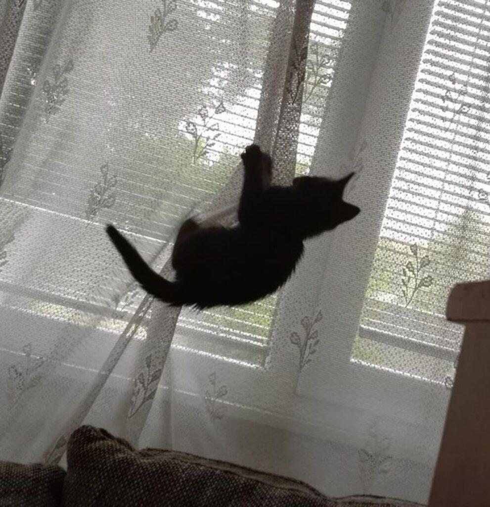 gatto tenda arrampica