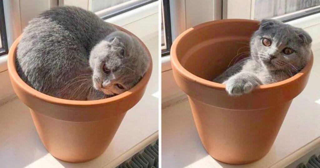 felino vaso cresce