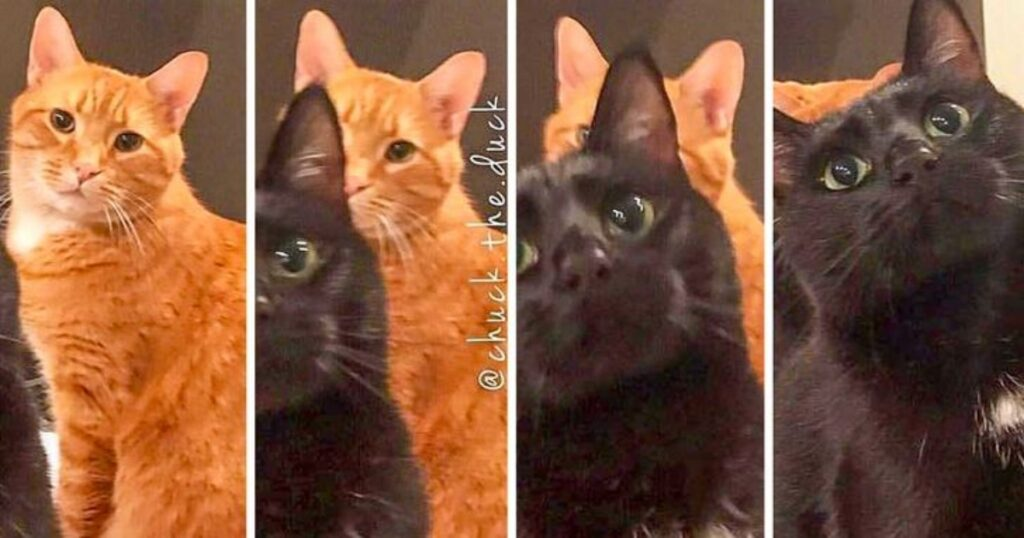 gatto arancione nero