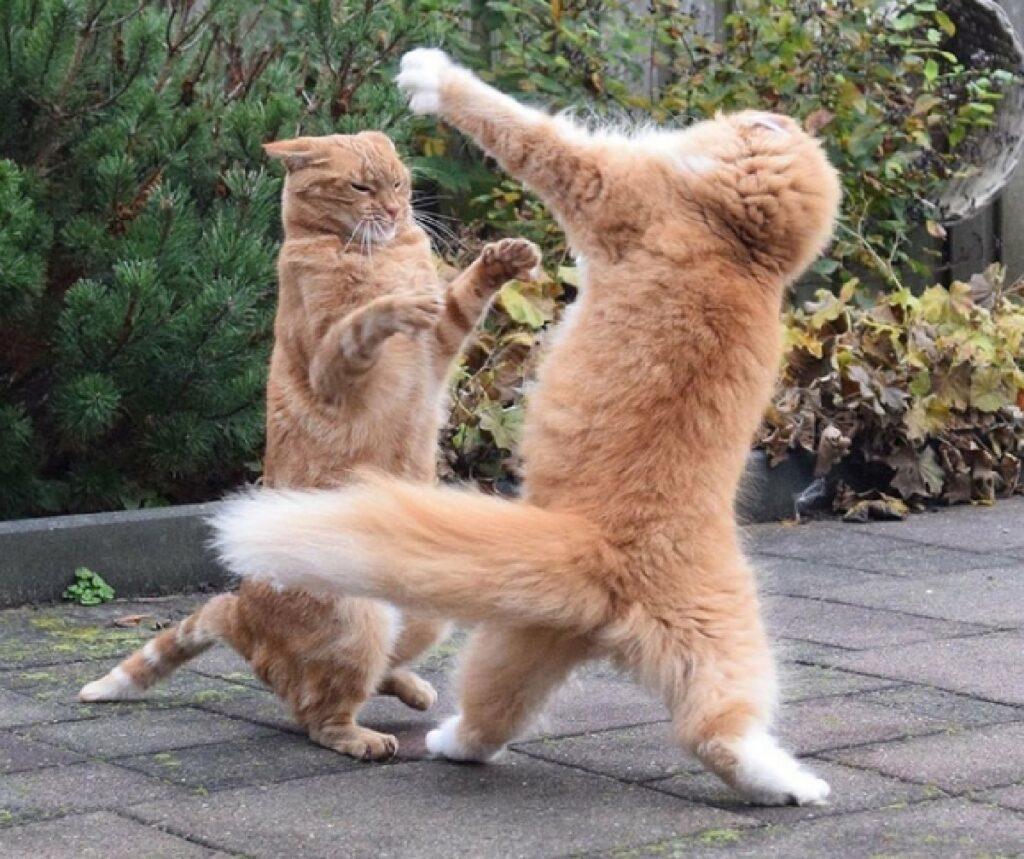 gatti rossi combattono divertimento