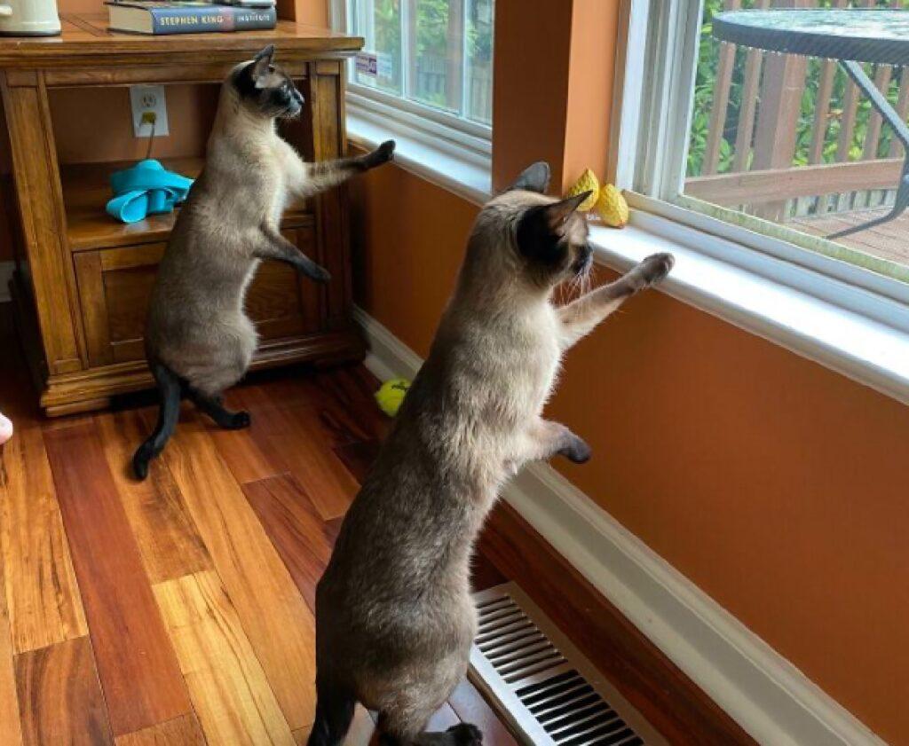 gatti siamesi osservano fuori finestra