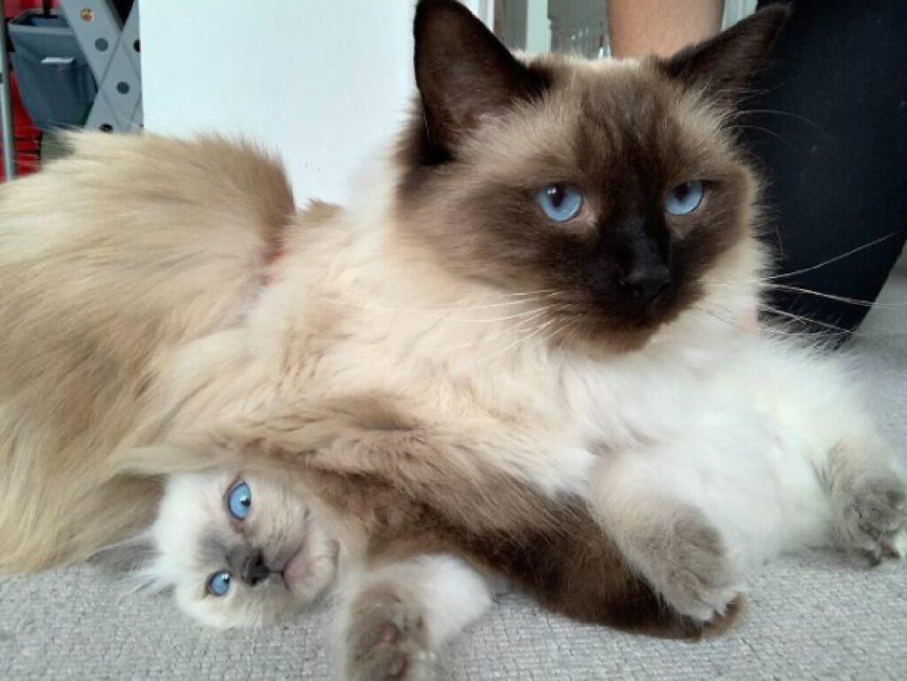 gatto sopra piccoletto occhi