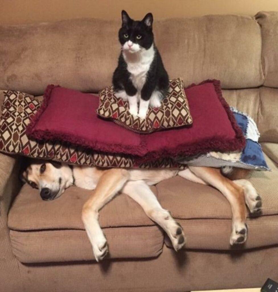gatto sopra cane