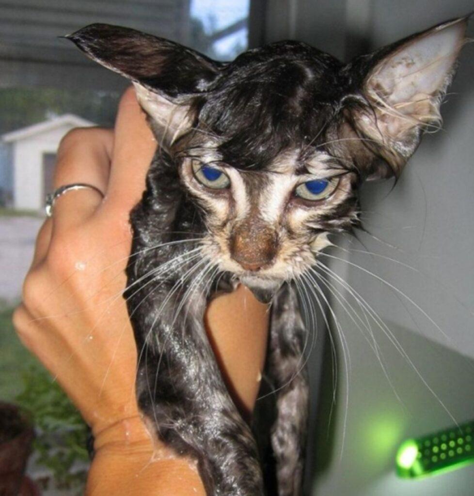 gatto bagnato rabbia