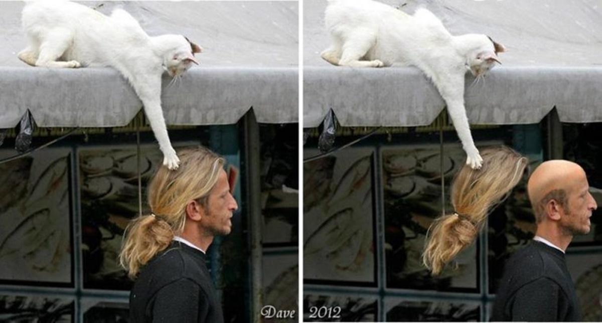 gatto parrucchino