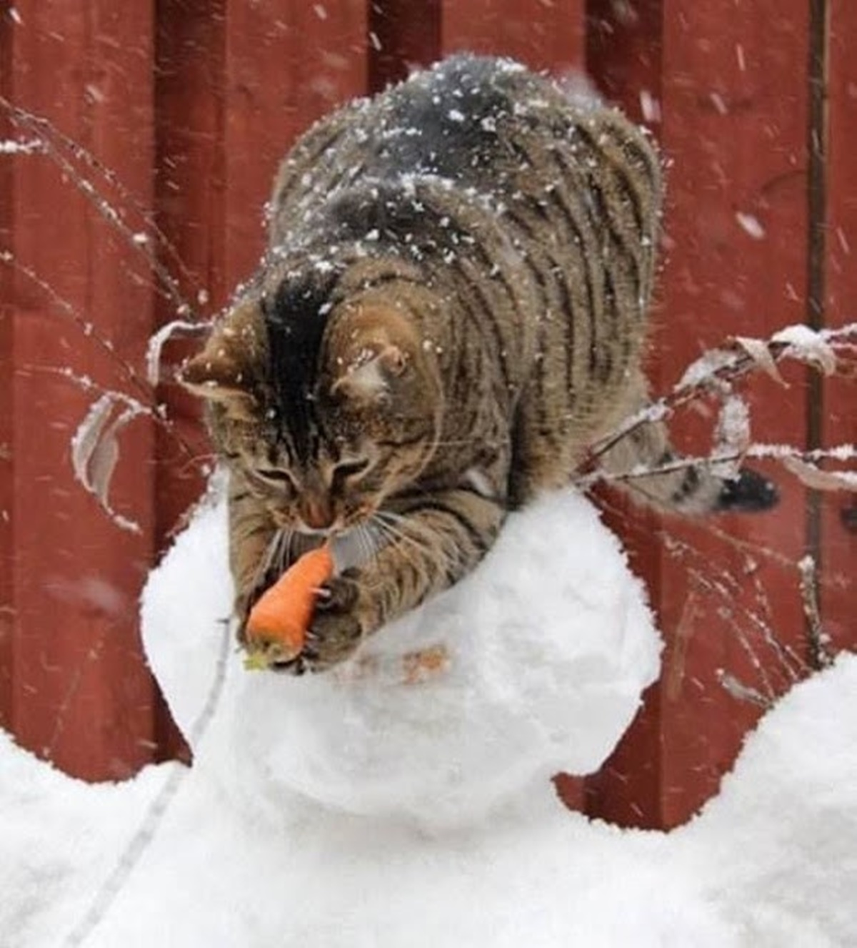 gatto carota