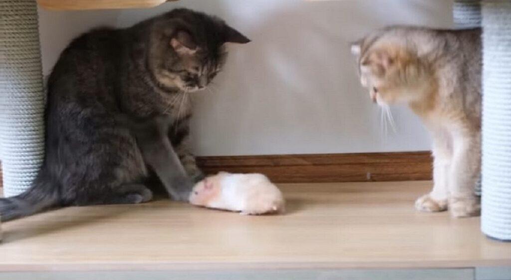 incontro tra gatti e criceti
