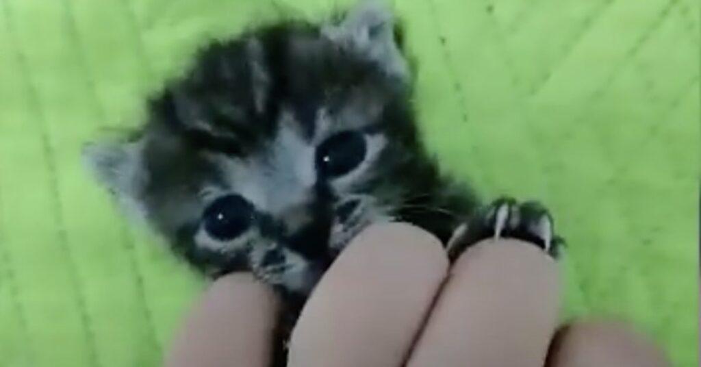 gattino grigio appena nato