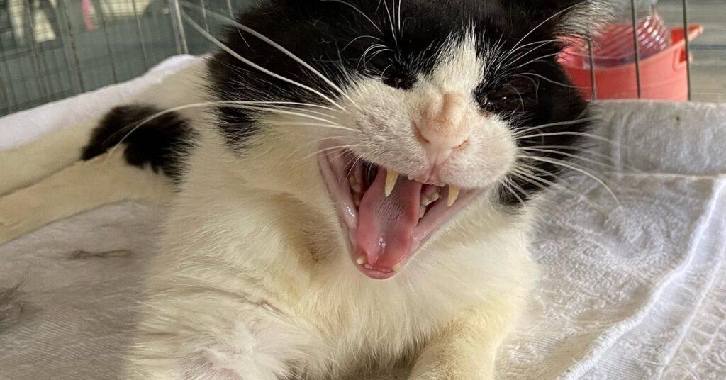gatto che sbadiglia