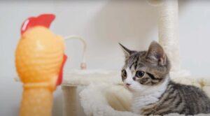 Gattino che osserva un pollo finto