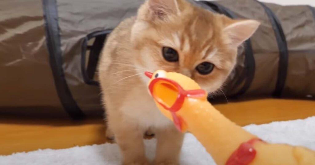 Gatto che annusa un pollo finto