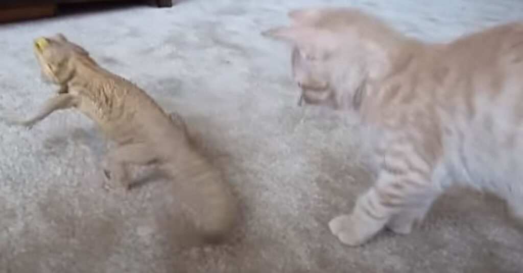 Gatto contro drago barbuto