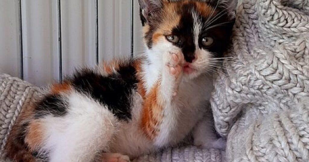 gattina con la zampa alzata