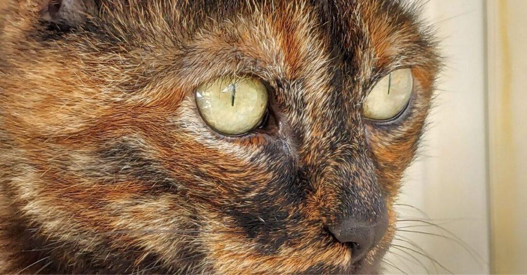 occhi di un gatto