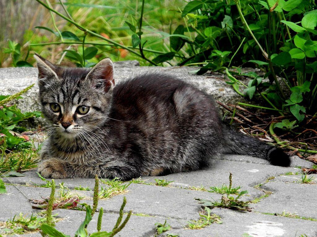 gattino grigio nel prato