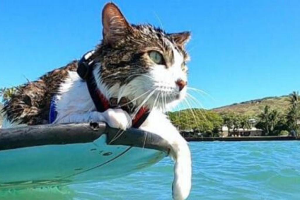 gatto su tavola da surf