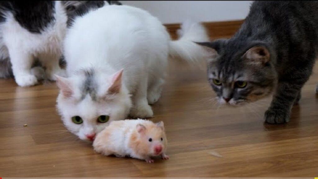 primo incontro gatti criceto