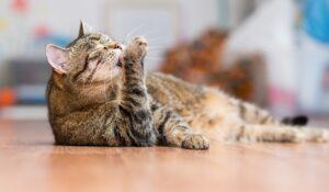 gatto pulisce la zampa