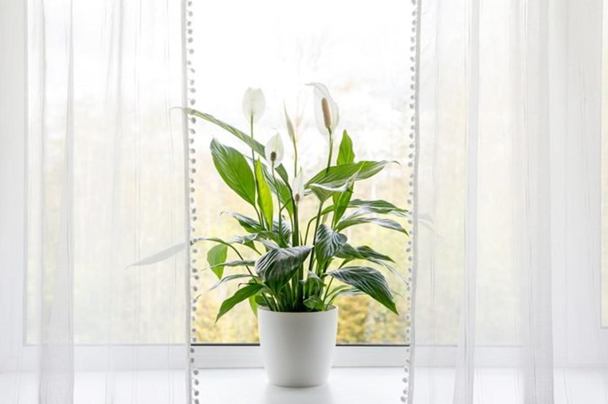 pianta bianca