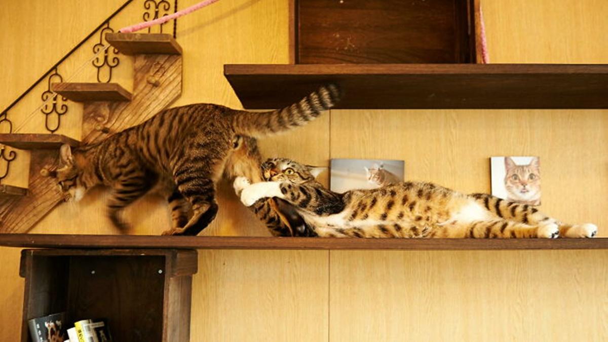 gatto acciuffa gatto