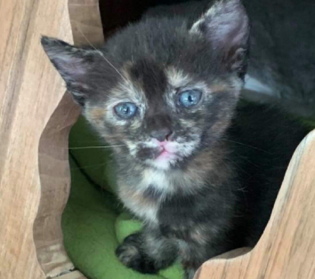 gattino nero piccolo macchie bianche