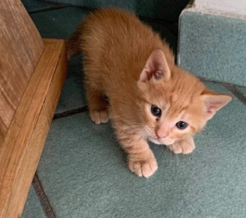 gatto rosso piccola dimensione