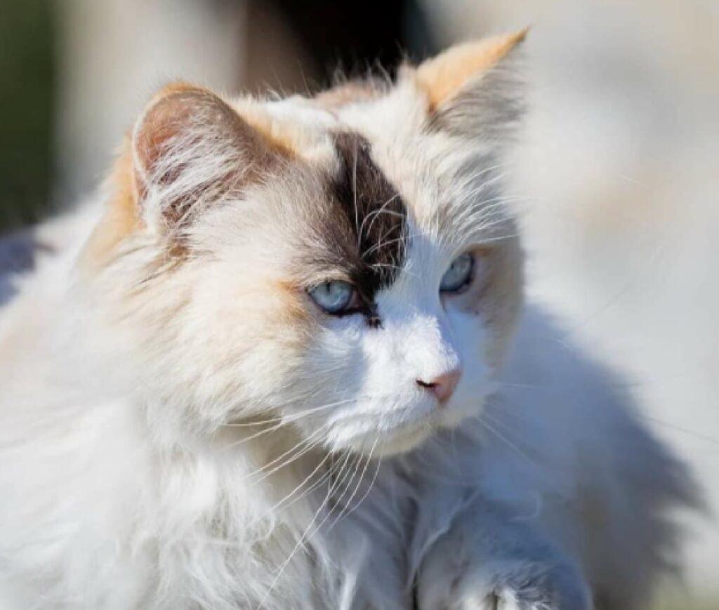 gatta posa pelo bianco marroncino