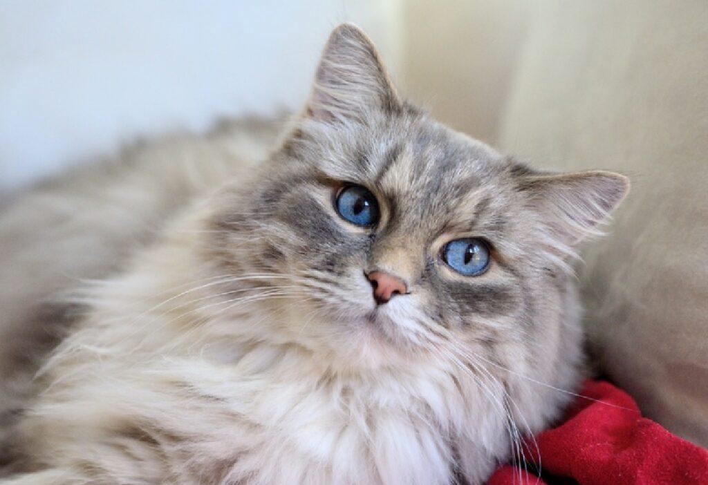 gatto pelo grigio e bianco