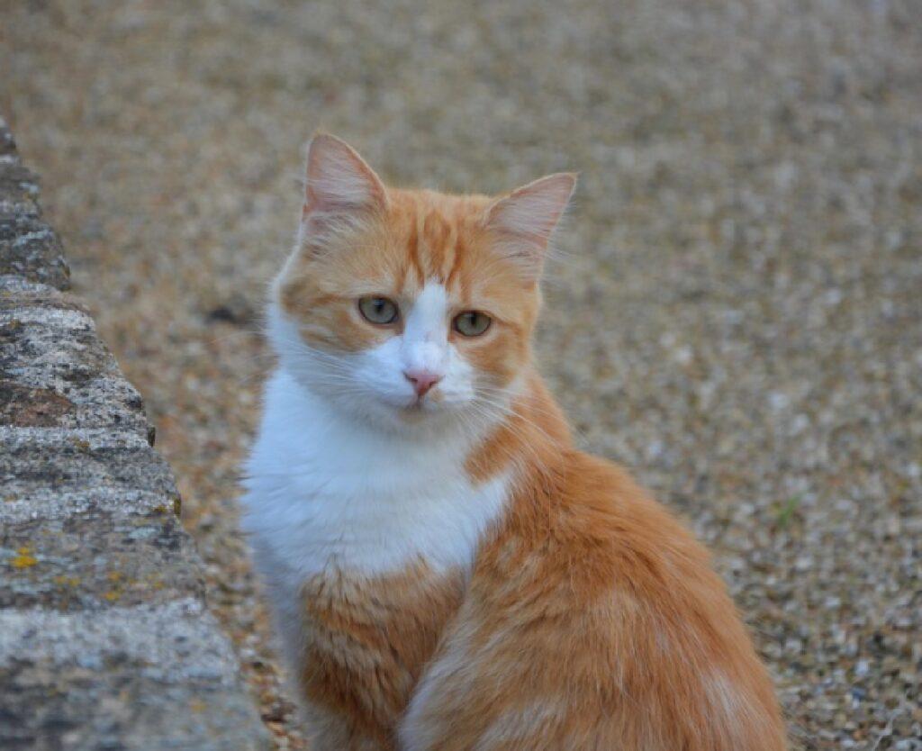 gatto rosso bianco perso
