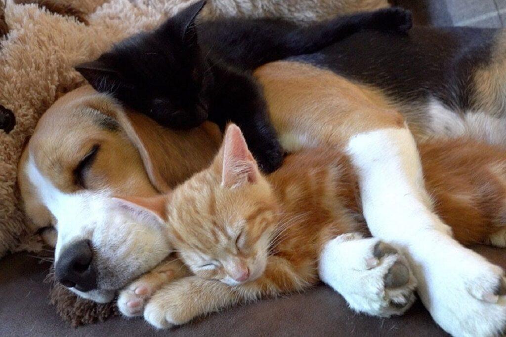 cane dorme abbracciato a gattino