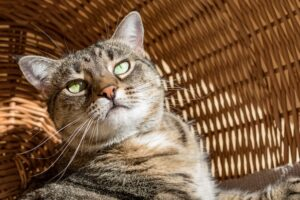 gatto dentro a una cesta