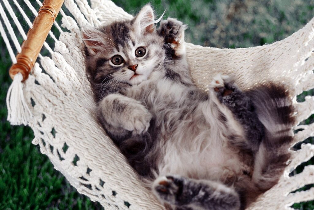 gattino a pelo lungo su un'amaca
