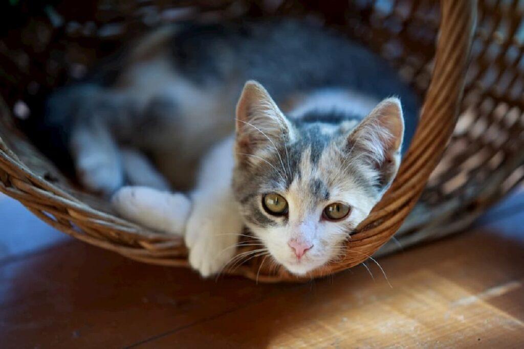 gattino dentro una cesta