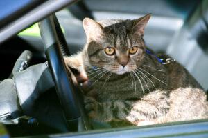 gatto in macchina