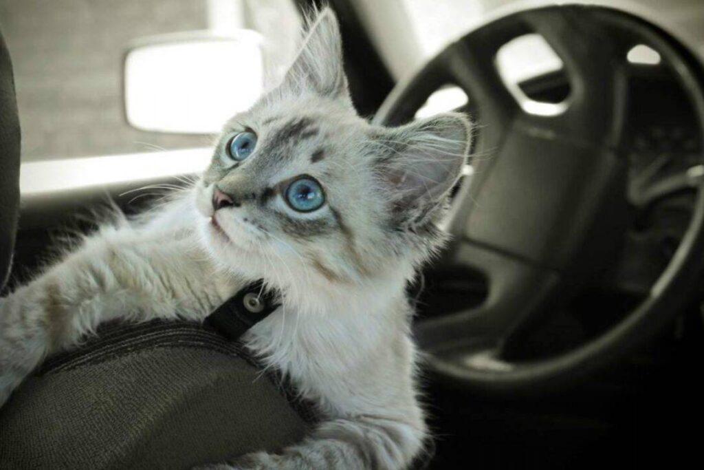 gattino grigio in macchina