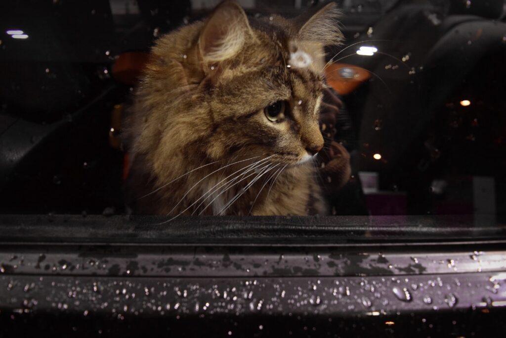 gatto chiuso in macchina