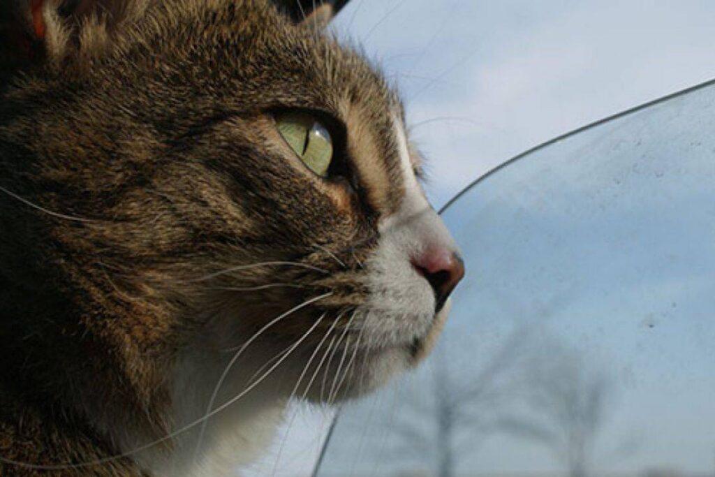 gatto in macchina con il finestrino aperto