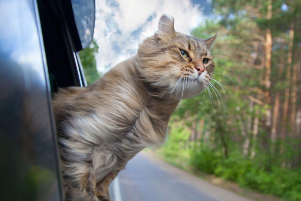 gatto viaggia in auto