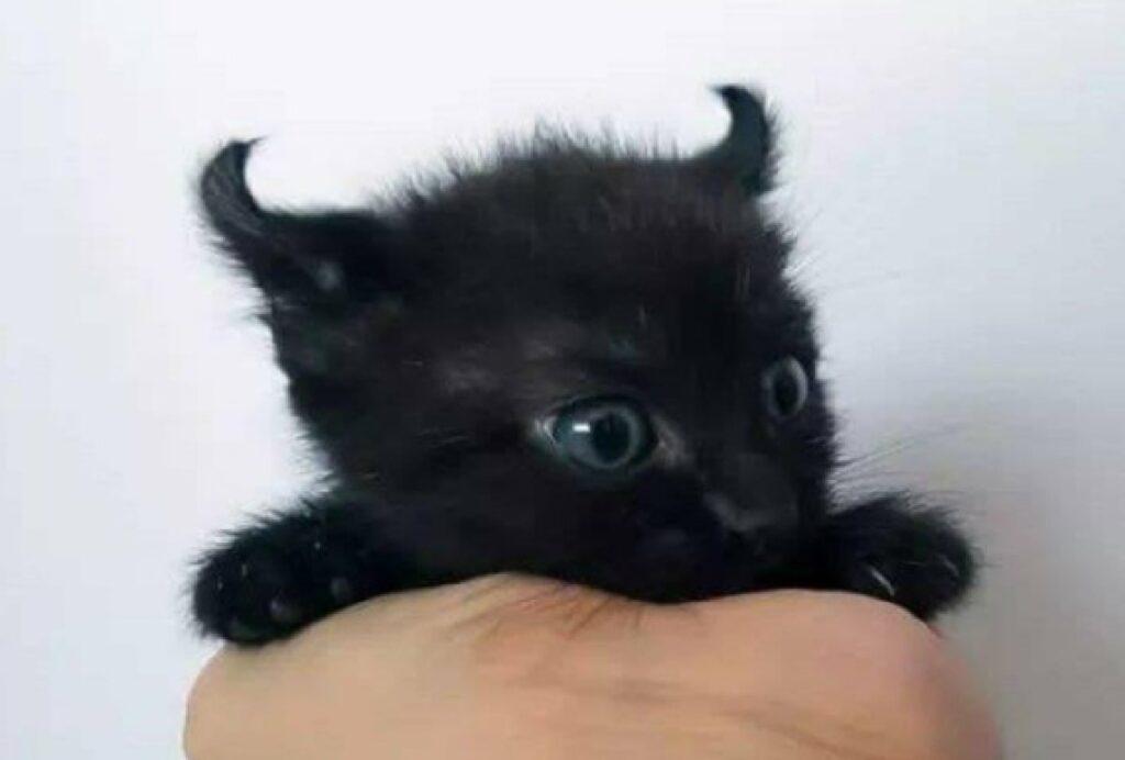 gatto nero orecchie diavolo
