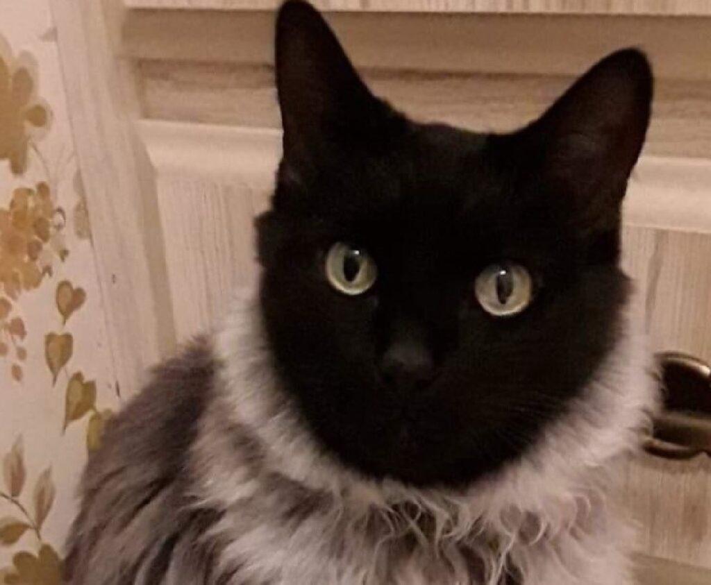 gatto viso nero barba bianca