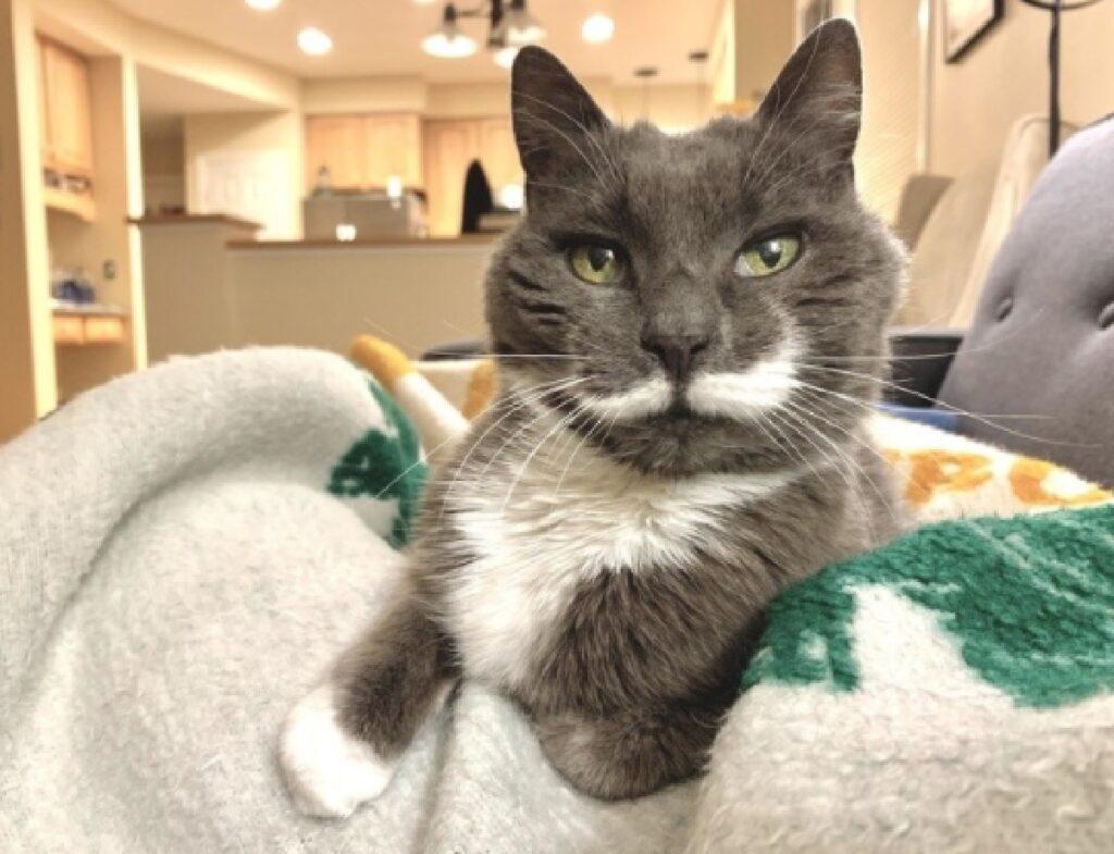 gatto grigio baffi bianchi