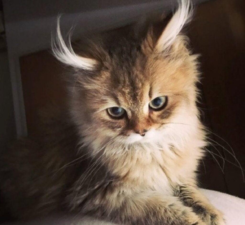 gatto lince orecchie lunghe
