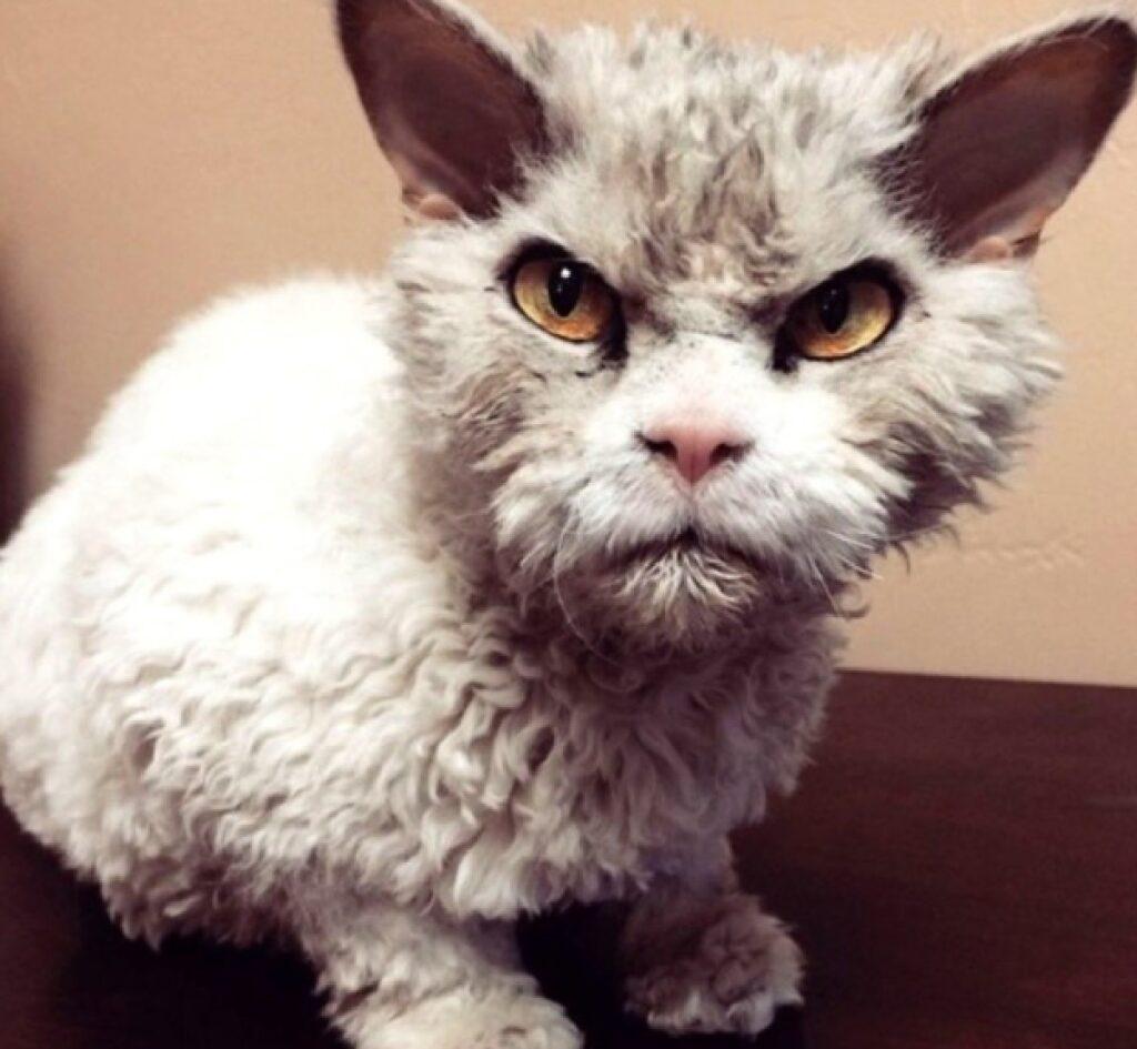 gatto arrabbiato pelo bianco