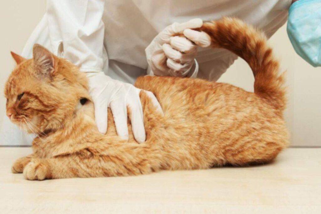 gatto a visita dal veterinario