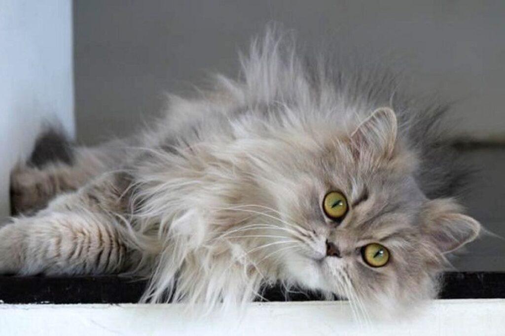 gatto con pelo lungo