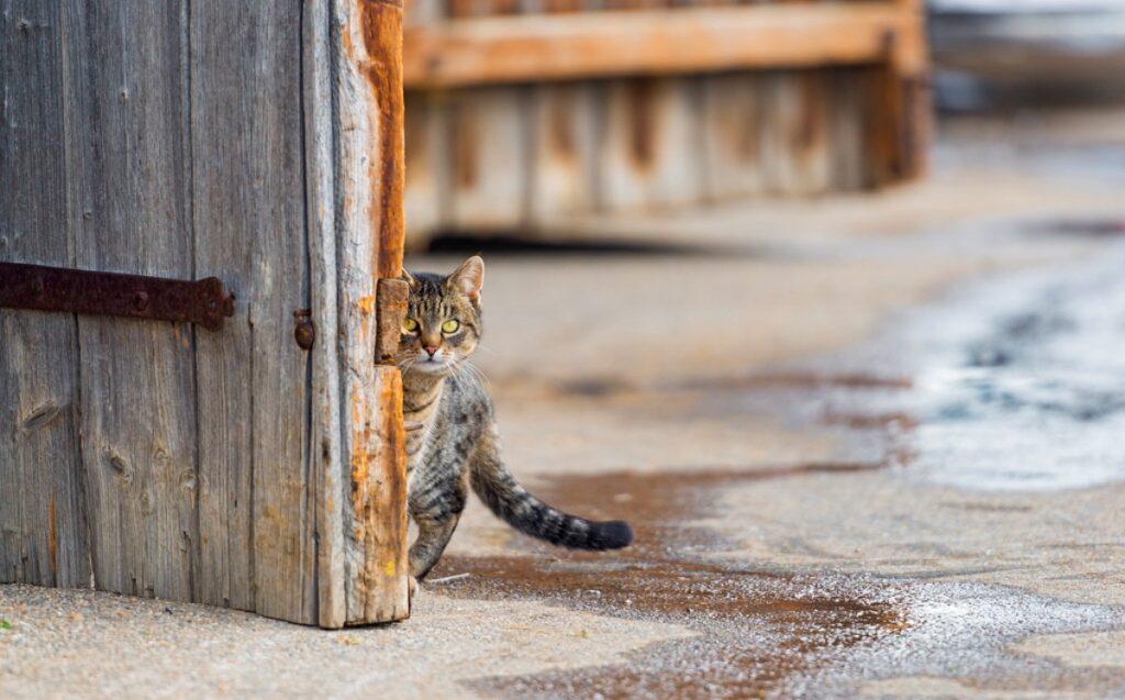 gatto porta scruta