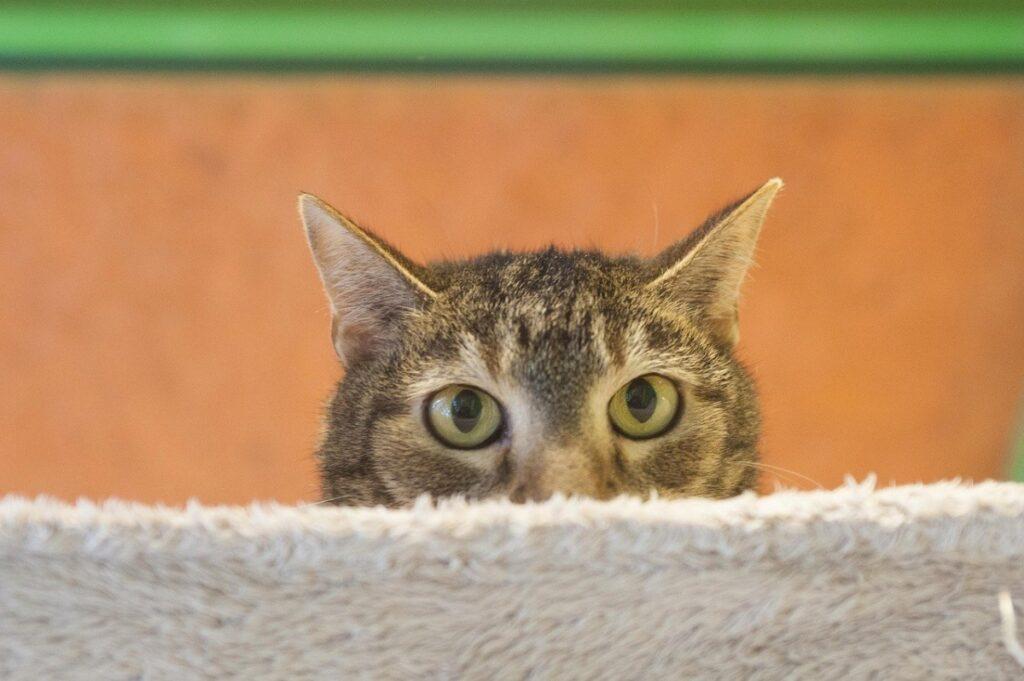 gatto scorgere occhi