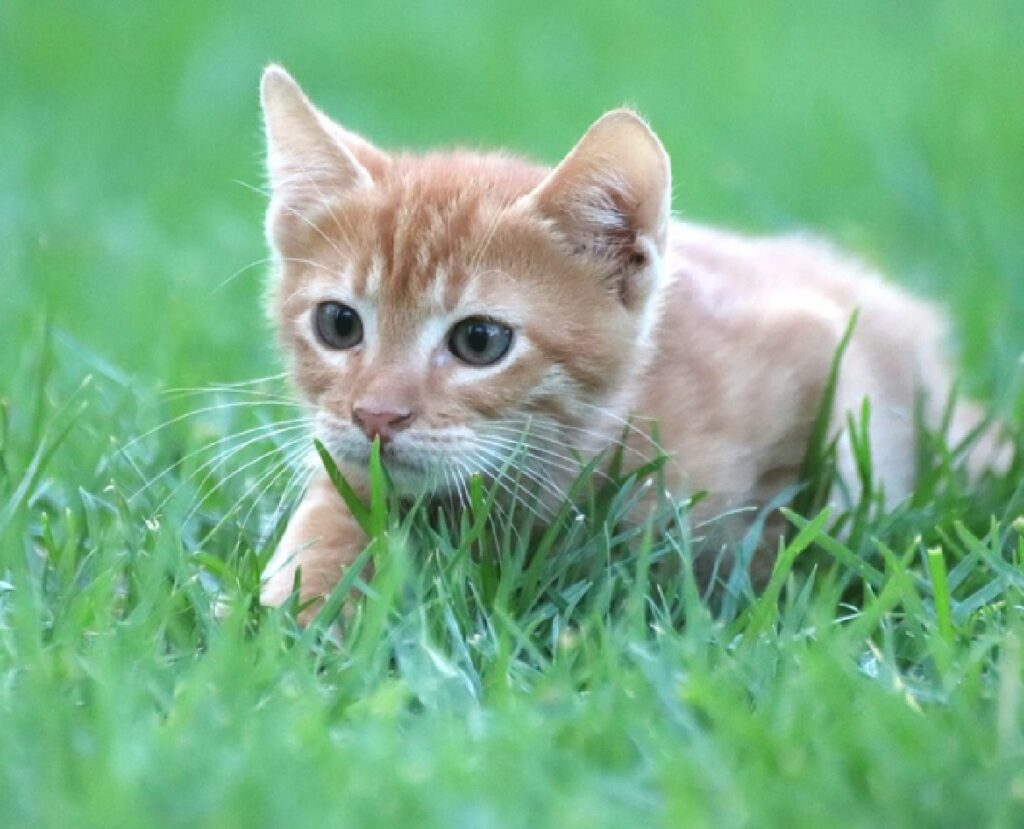 gatto gioca nel giardino casa
